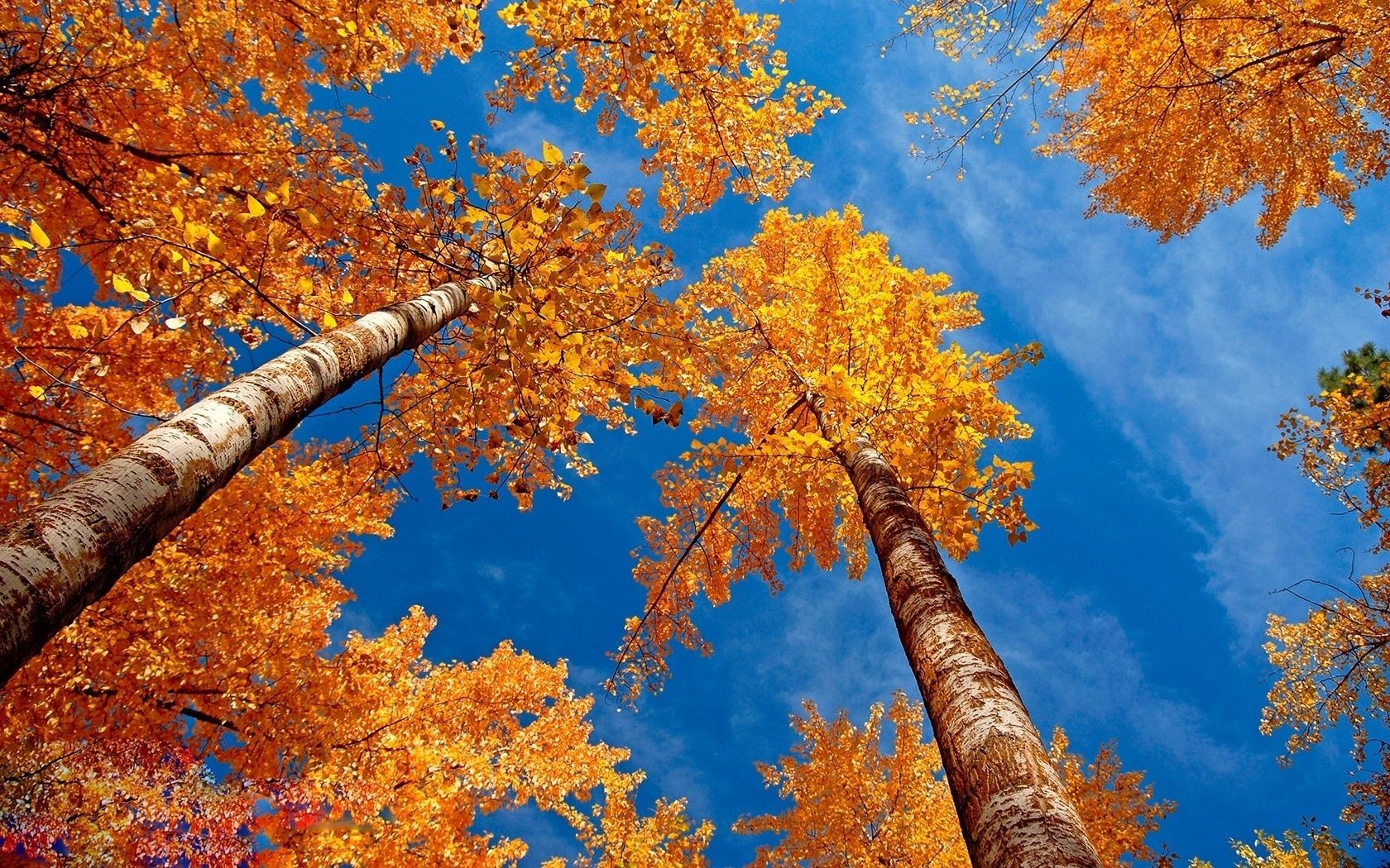 the yellowed crown of birch trees on blue sky background