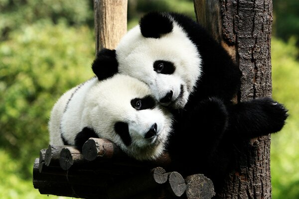 Panda Bears in Love