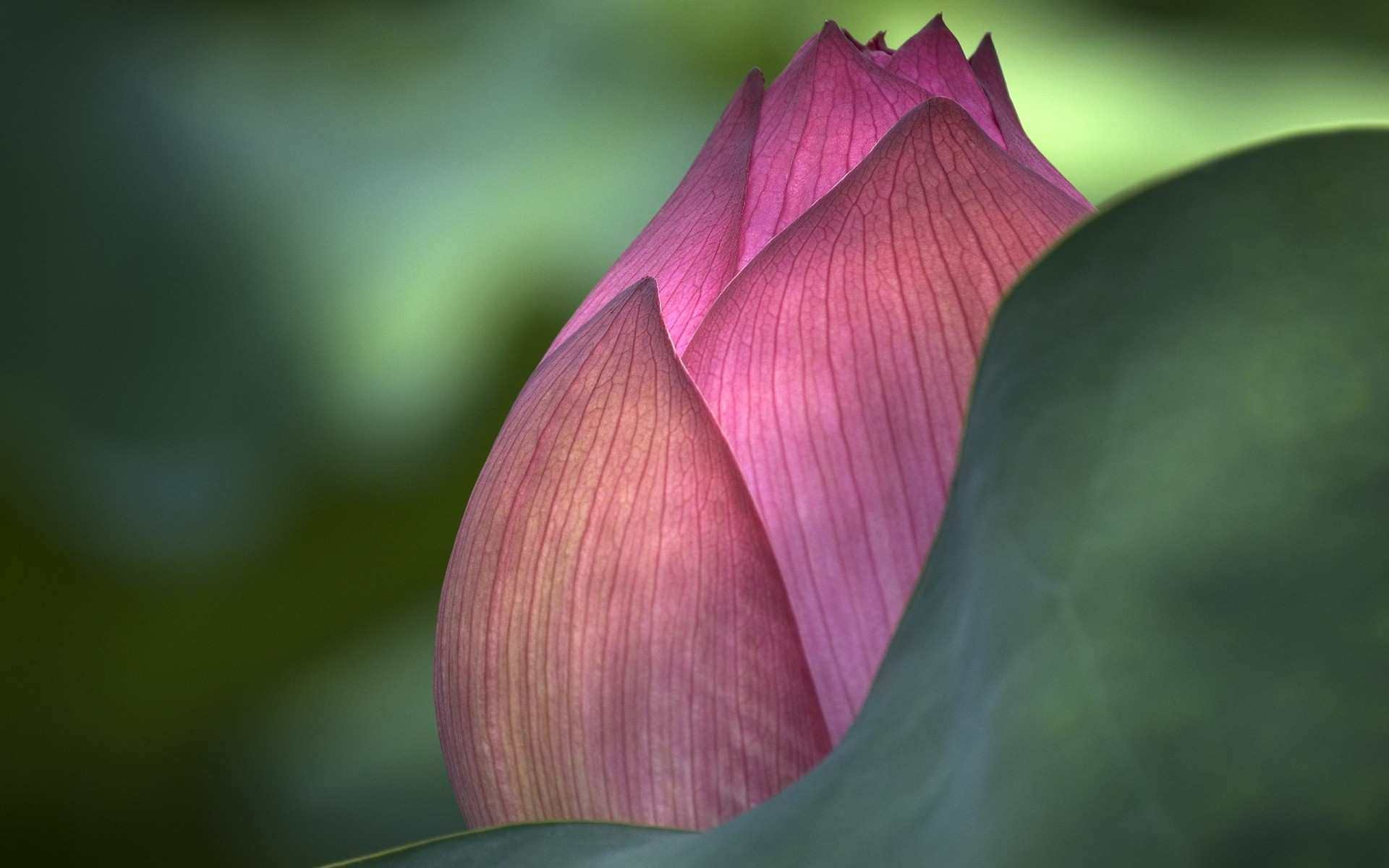 Lotus Flower Desktop Wallpapers For Free
