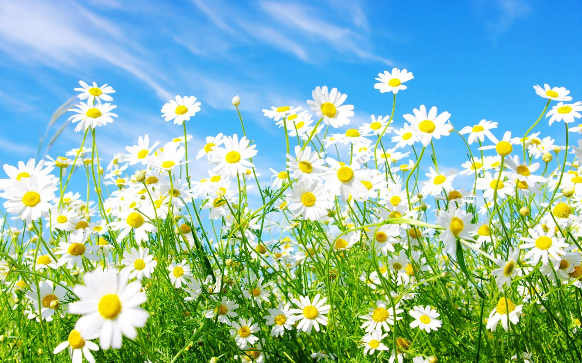flowers field flower hayfield summer nature flora chamomile growth grass fair weather petal sunny rural sun season floral blooming outdoors bright landscape scenery