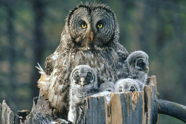 Owl Family Background