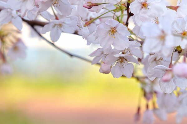 The cherry blossom petals white branch spring freshness