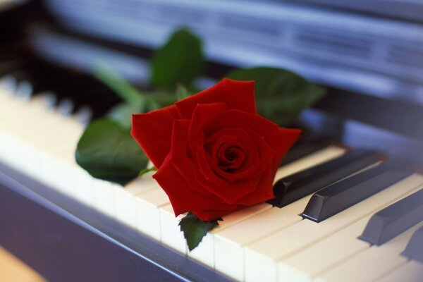 Flower rose piano