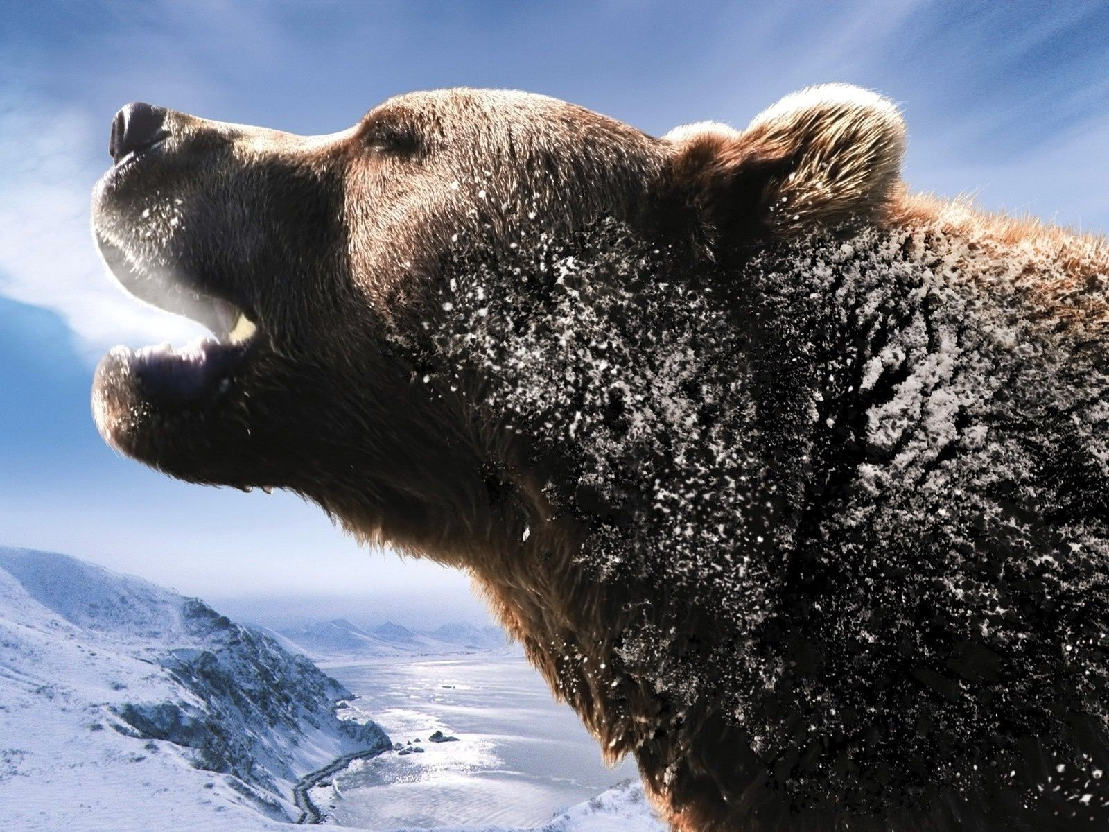 bears snow winter outdoors mammal nature cold wildlife water frosty one ice