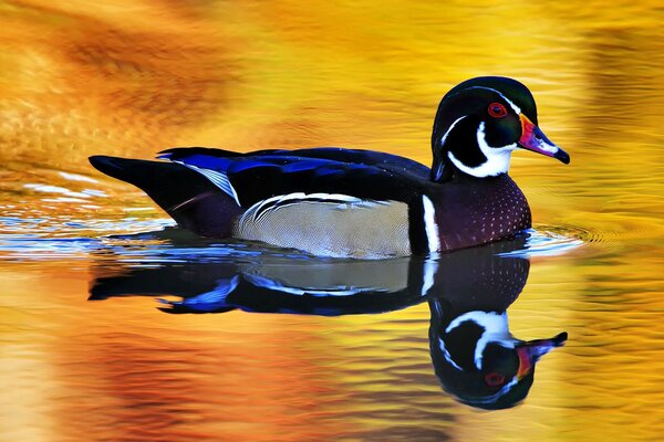 Colorful Wild Duck