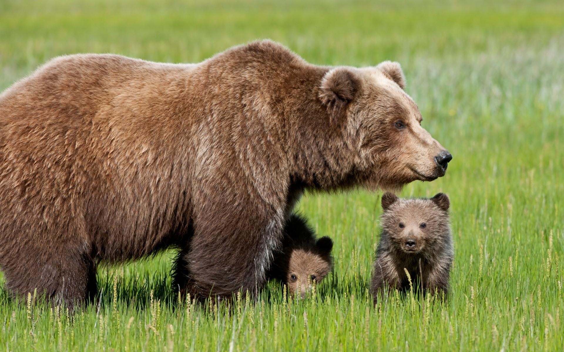 Photos of brown bears