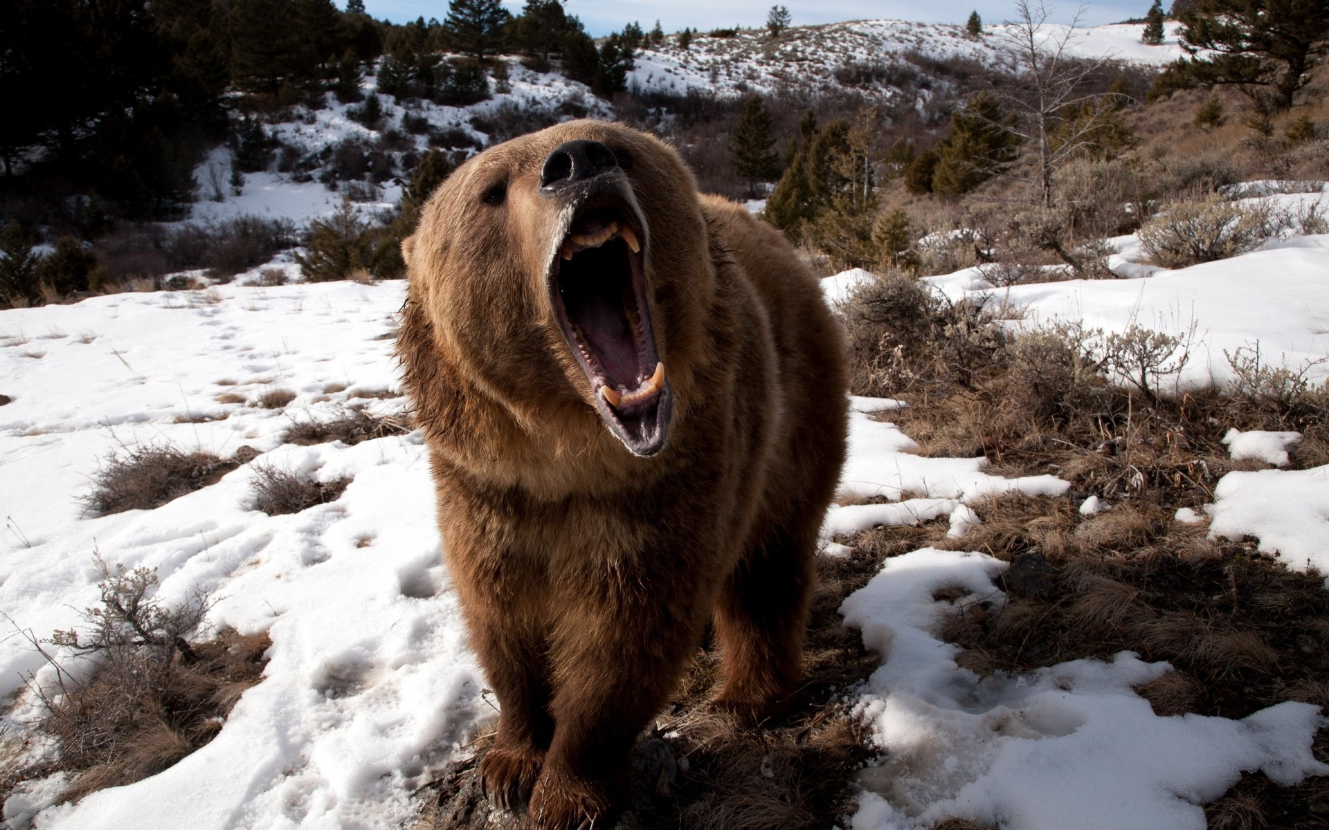 Angry Grizzly Bear Android Wallpapers For Free