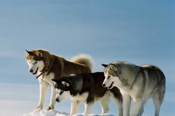 Dogs husky dogs color breed