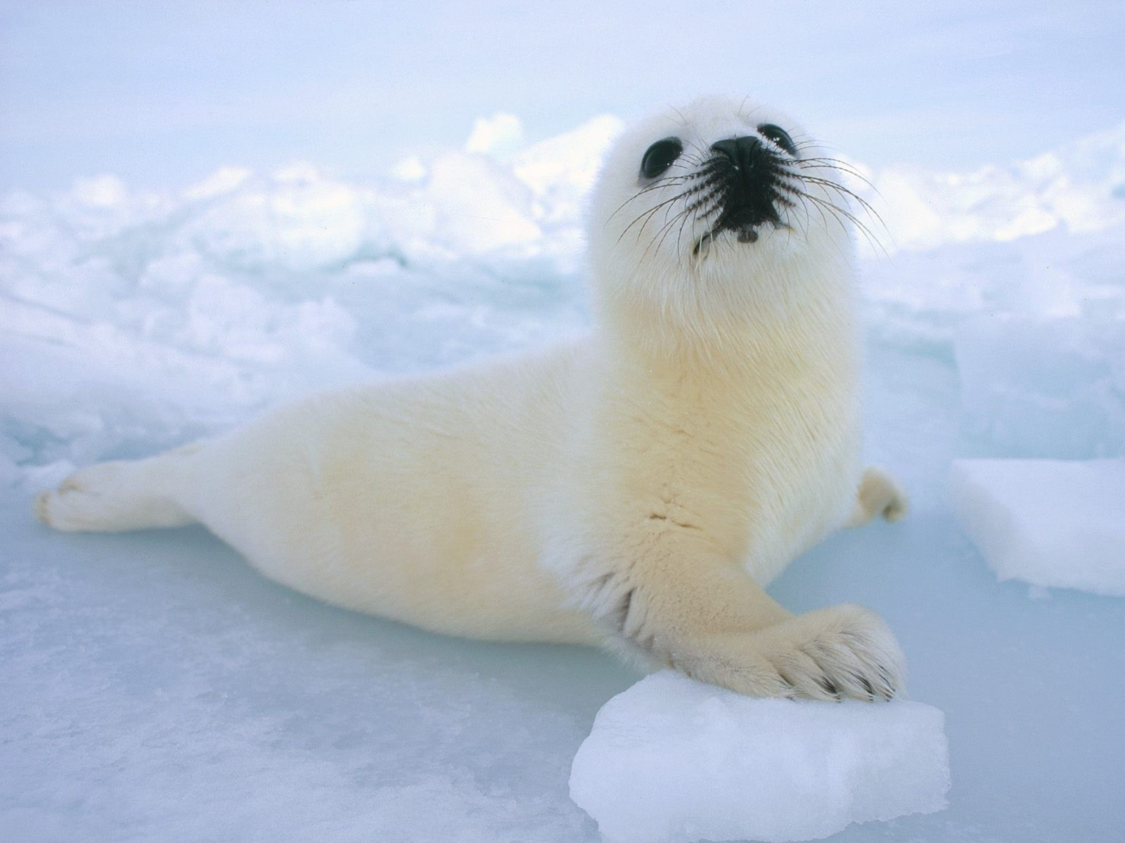 animals snow frosty winter mammal ice cold nature outdoors wildlife daylight polar cute water one animal ocean seal