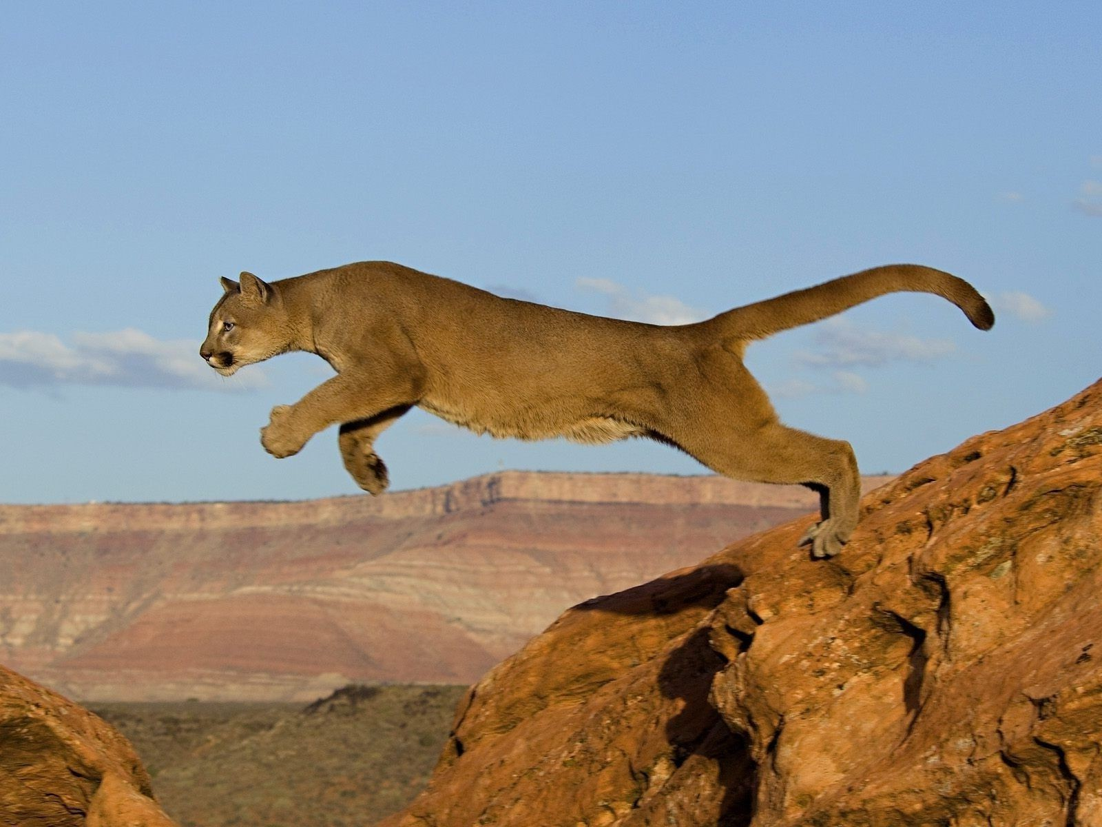 the jumping Puma cat predator Africa rocks