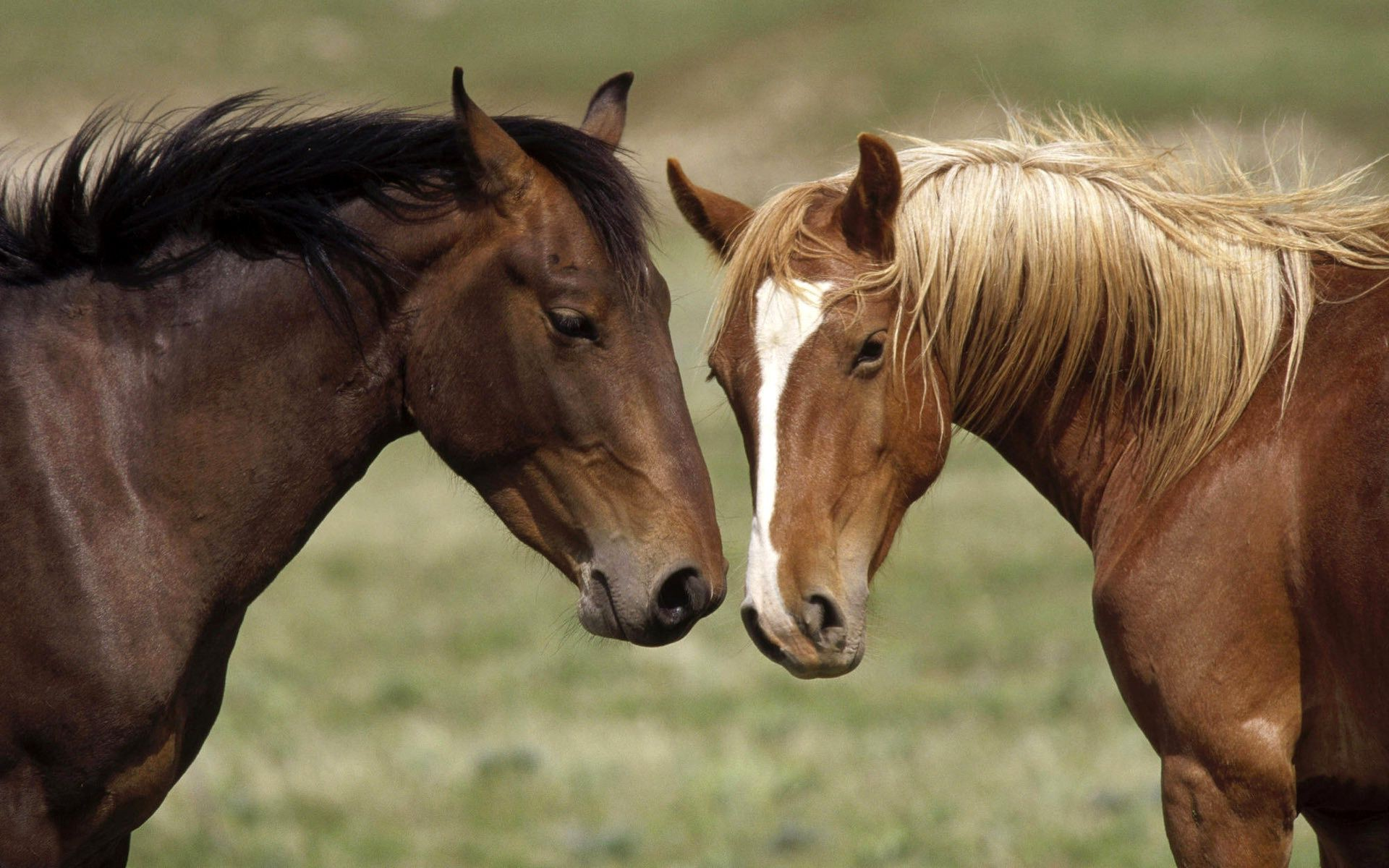 horses mare horse cavalry mammal mane stallion animal equine equestrian farm grass hayfield field pasture pony portrait chestnut thoroughbred foal