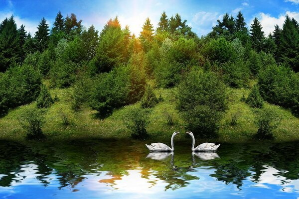 swans reflection river forest Animals the sun