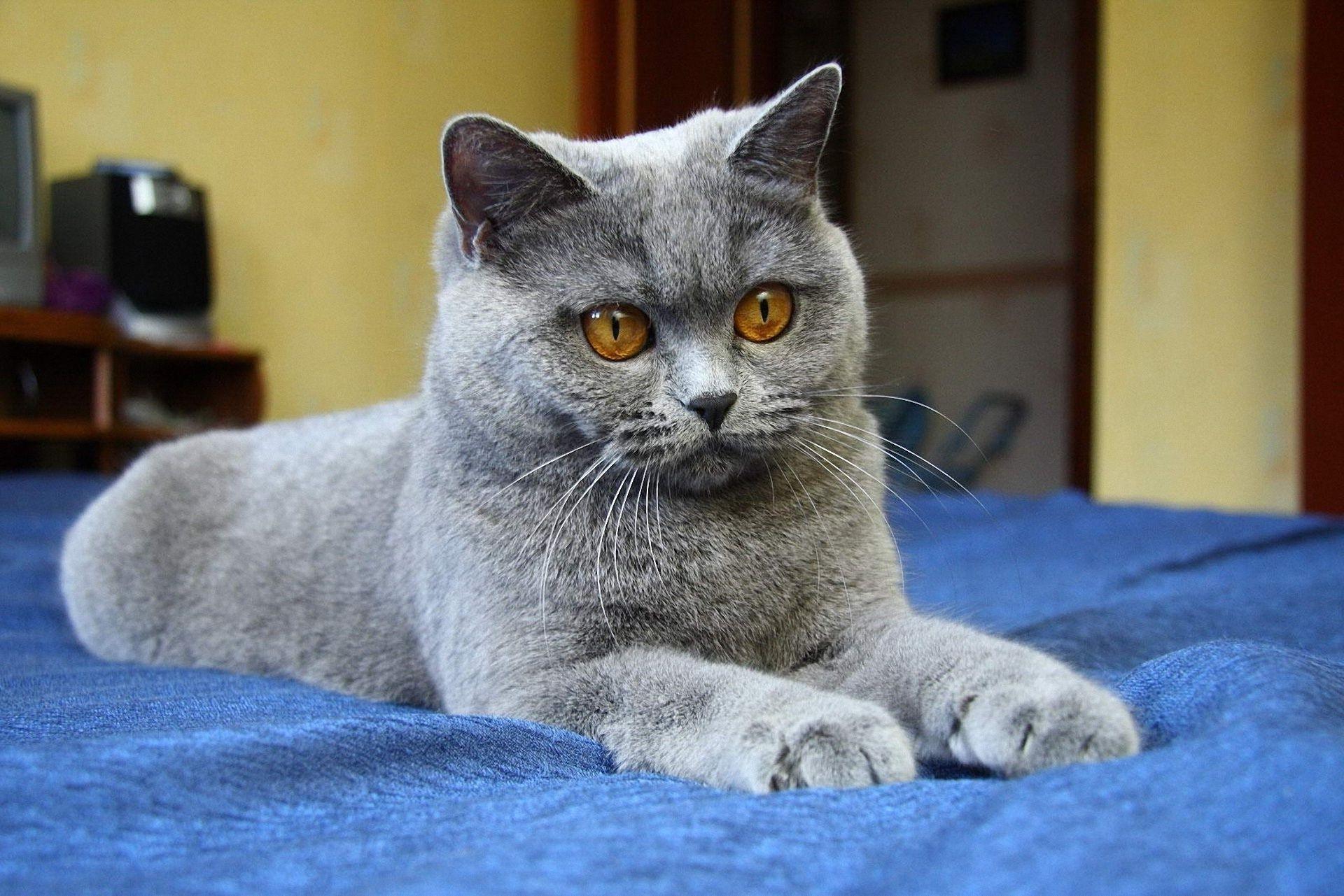 Обои на рабочий стол британские кошки бесплатно