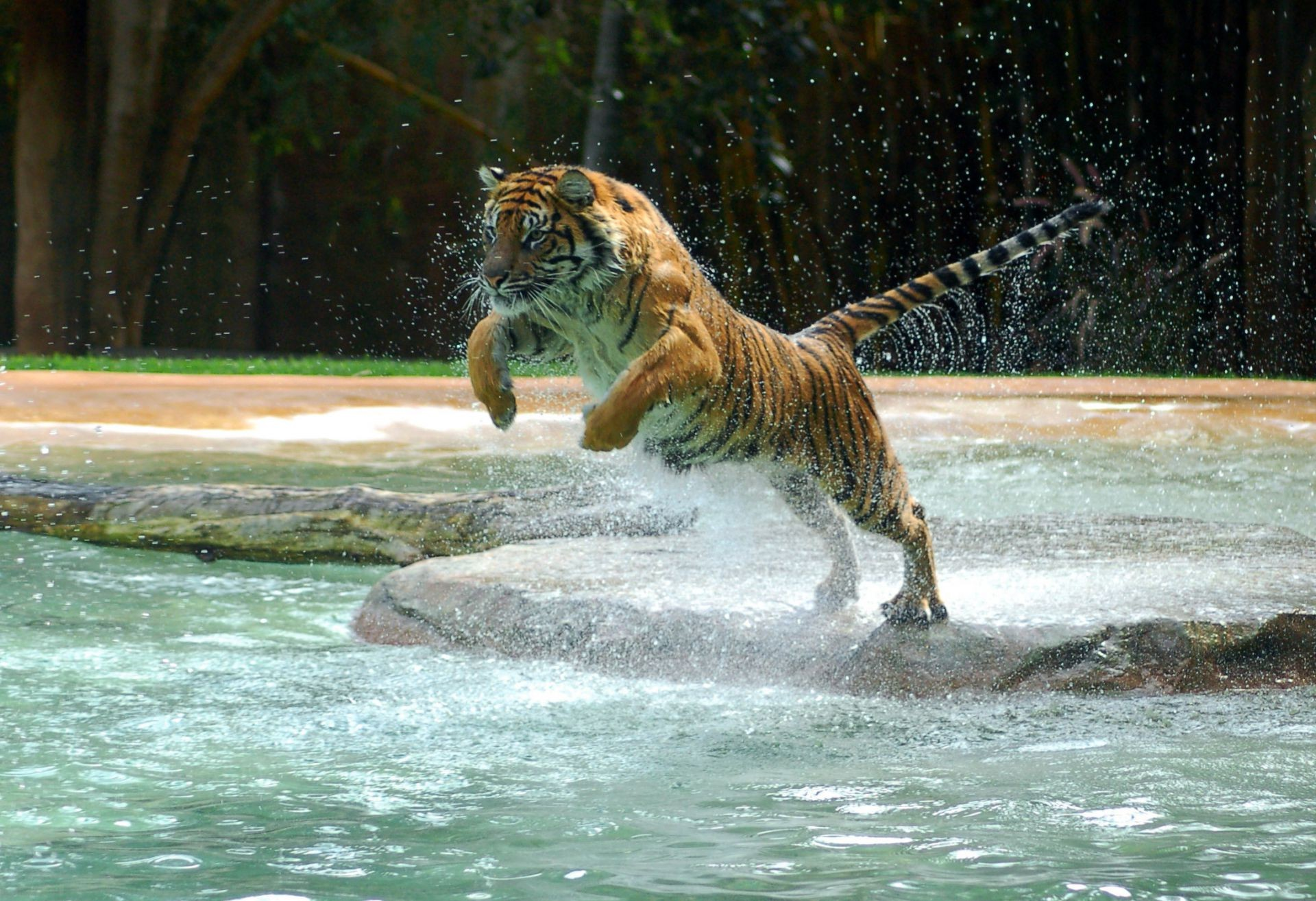 water water powerful animal jump tiger jump Tiger paws