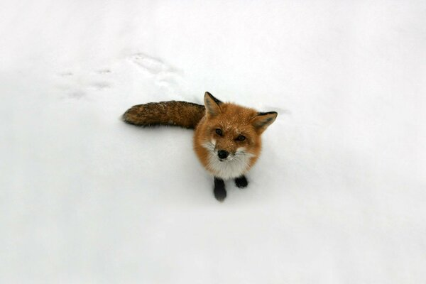 Fox look Fox snow red