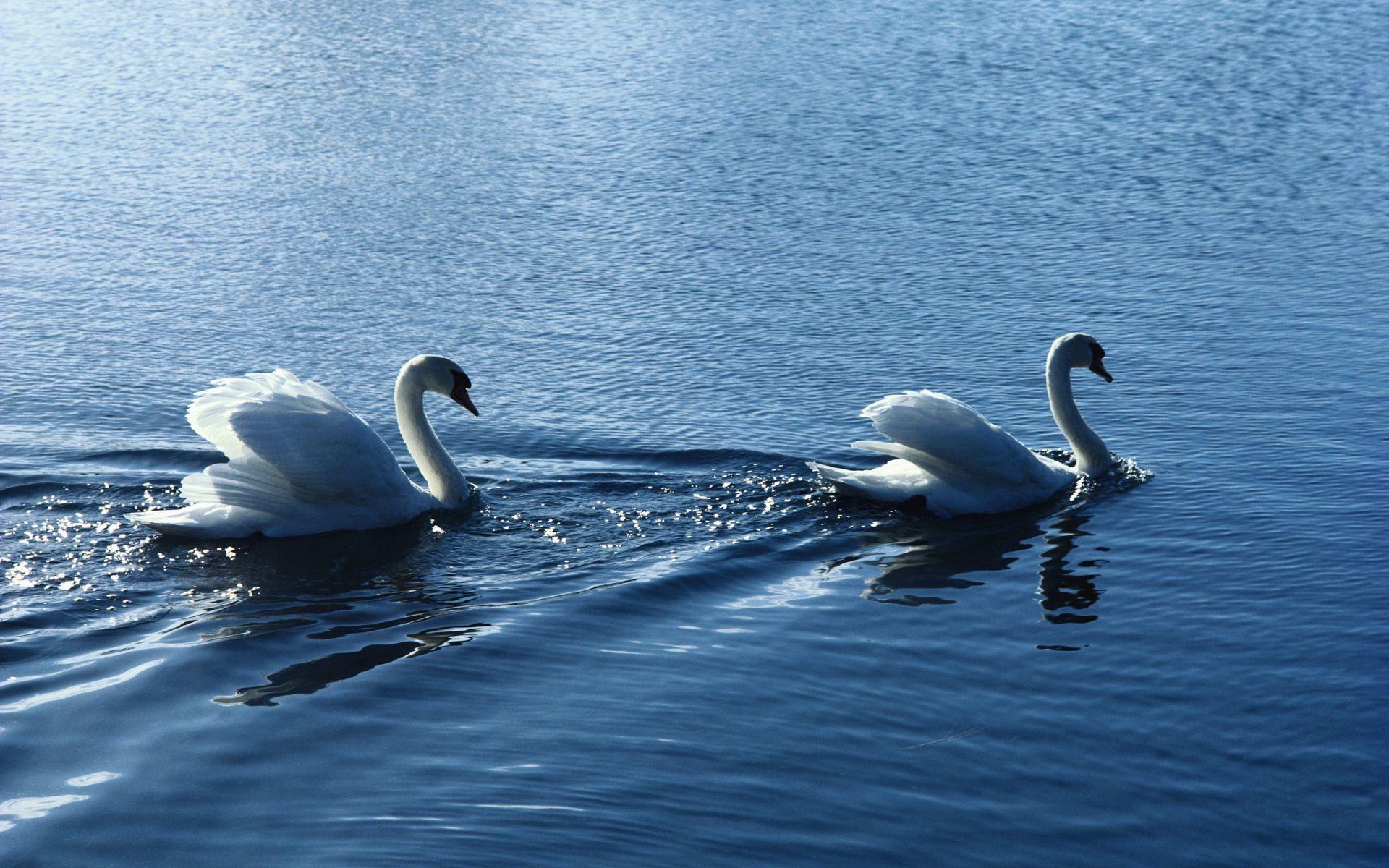 белый лебедь без смс