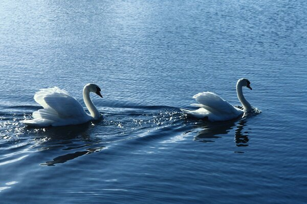 Birds ruffle white swans water vapor
