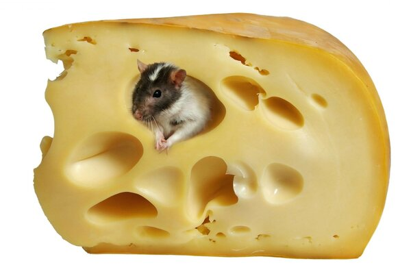 Cheese white background mouse rat