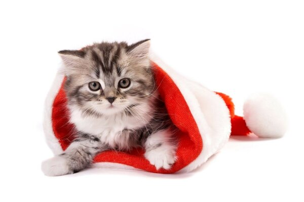 white background Kitten new year