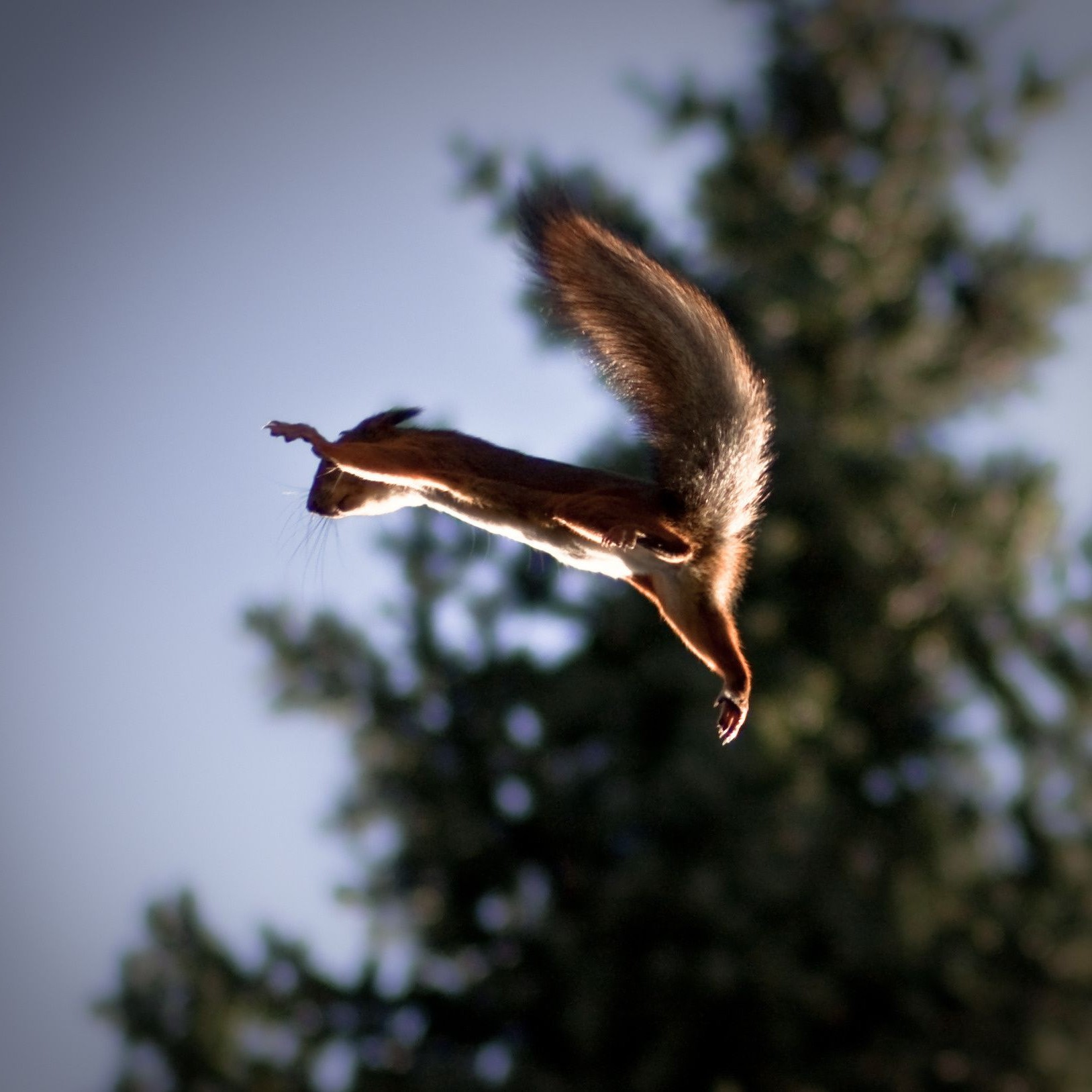 squirrel flying Squirrel jump