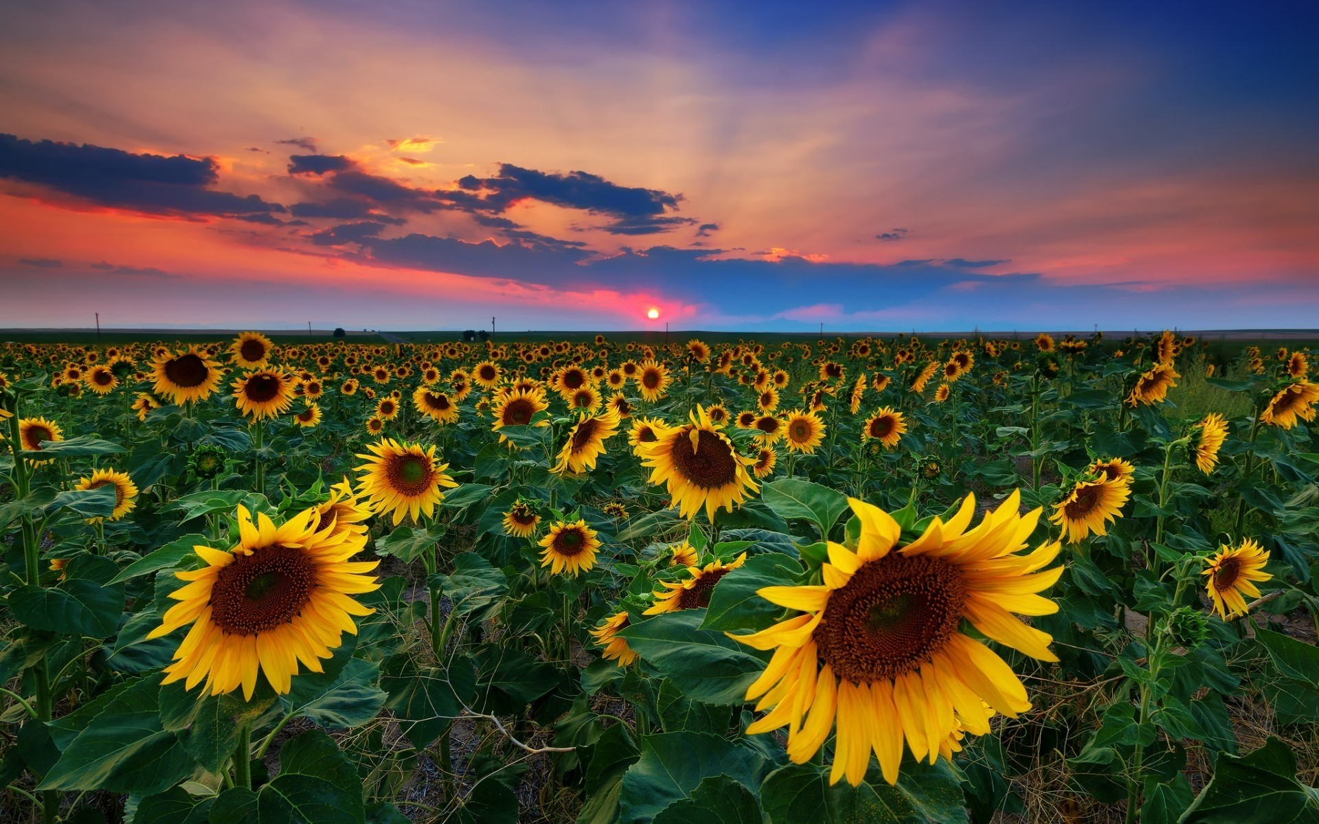 Denver Sunflowers Field Desktop Wallpapers For Free