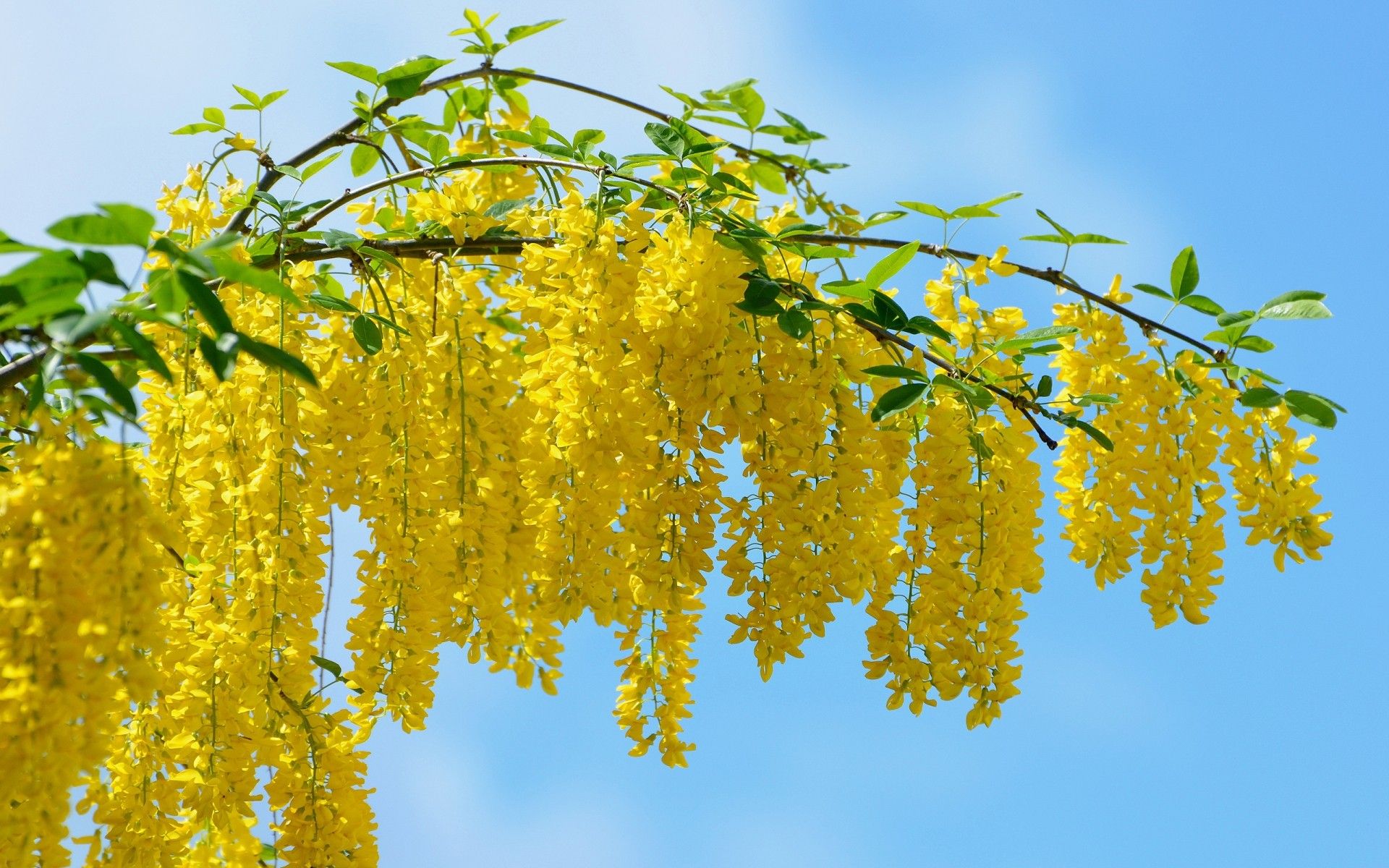 flowers leaf nature tree flora season bright fair weather branch summer growth sun outdoors color wood flower environment acacia