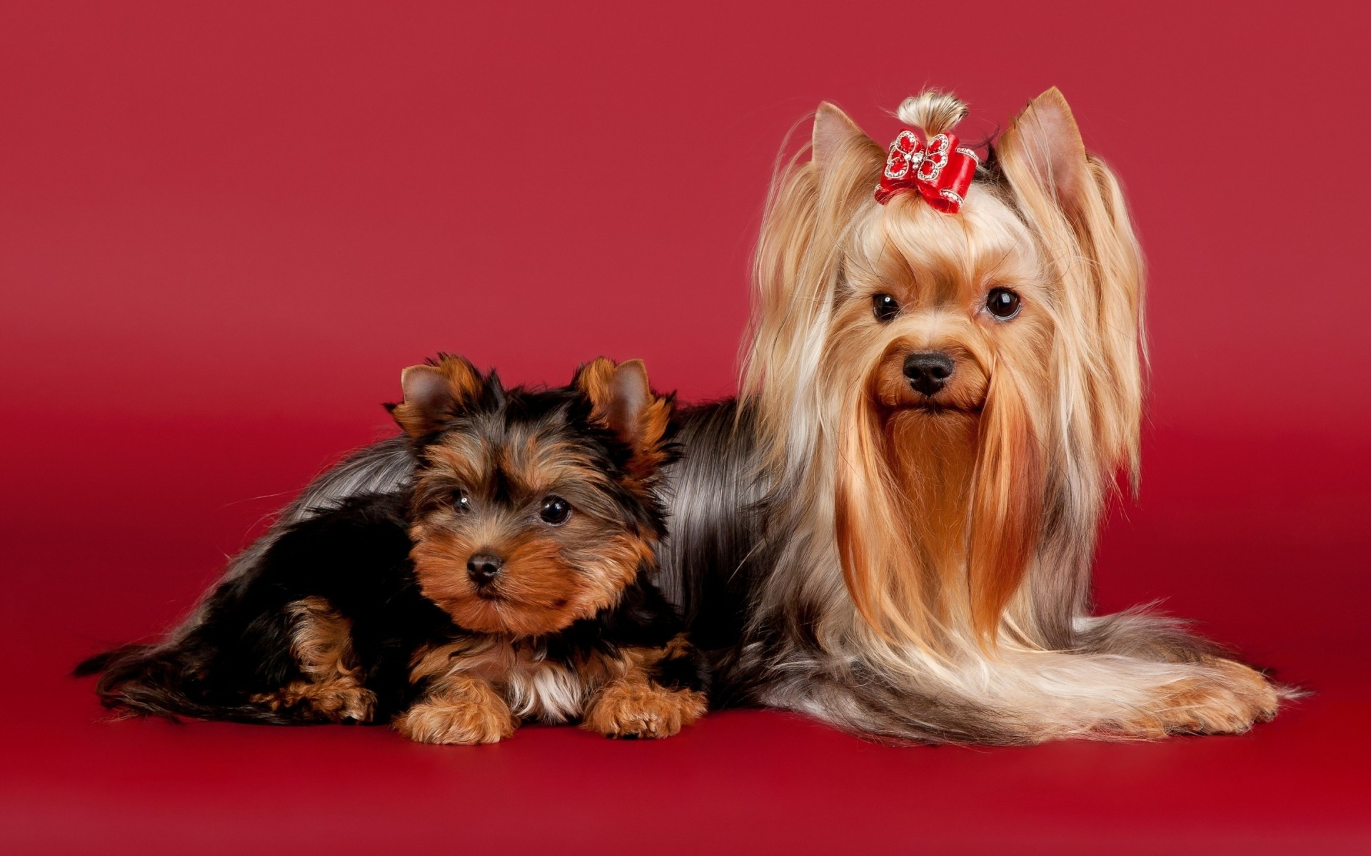 dogs dog cute pet canine mammal terrier little puppy animal fur sit portrait purebred funny breed domestic pedigree studio