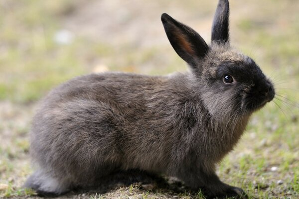 Dark Grey Rabbit