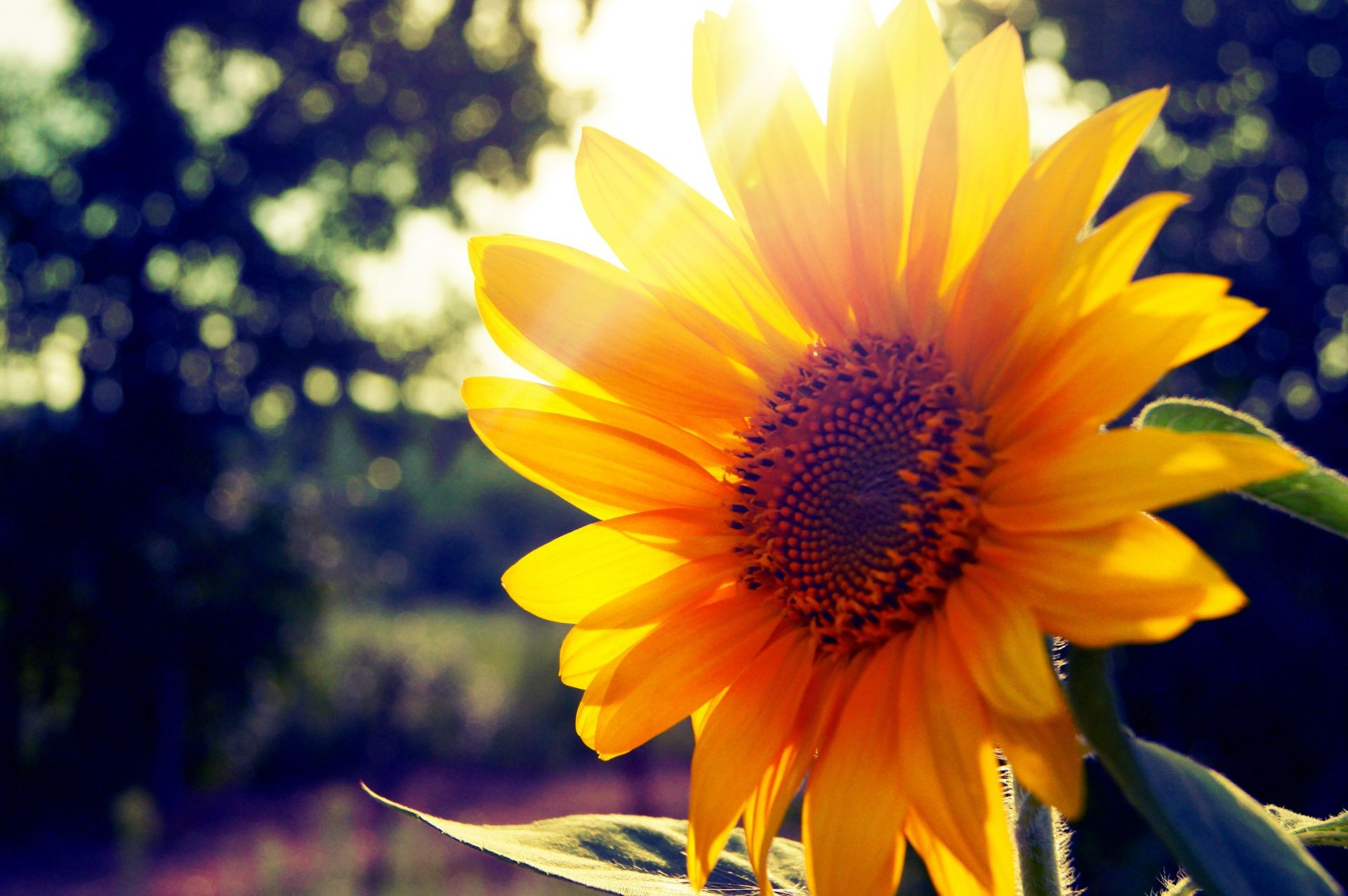 sunflowers nature flower flora summer leaf garden bright color sun fair weather growth