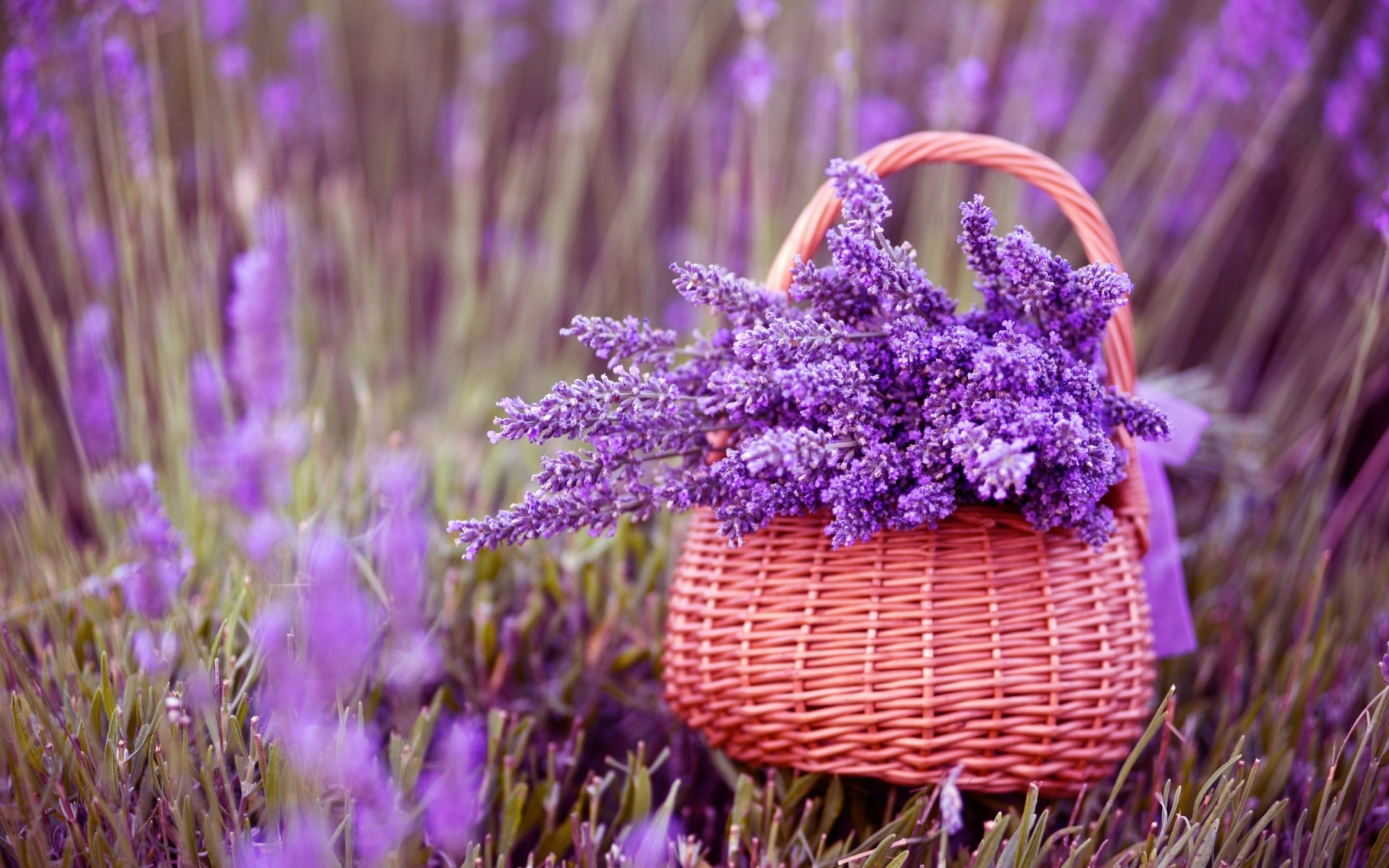 Beautiful lavender flowers iphone wallpapers for free izmirmasajfo