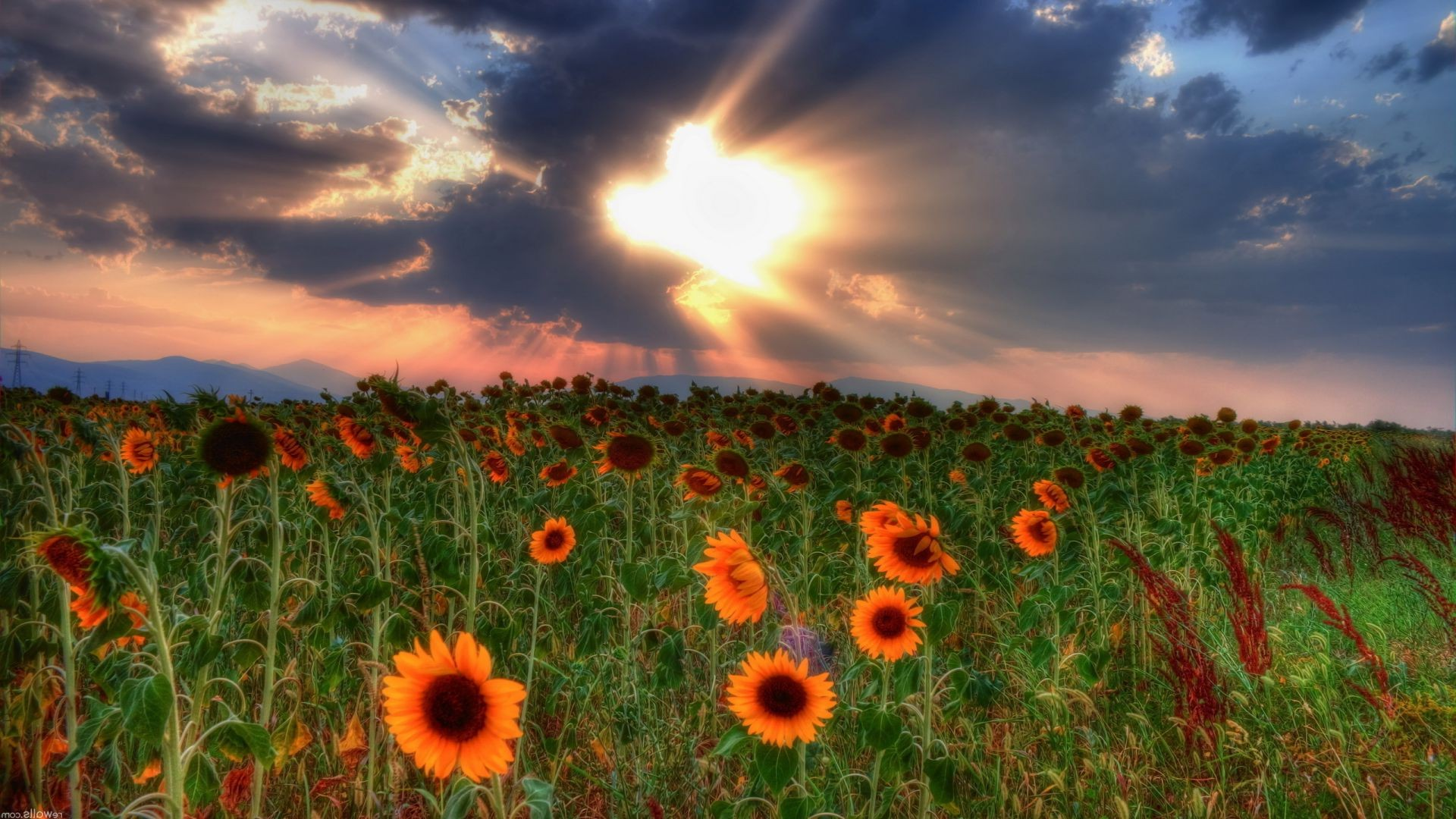 the sunset and sunrise field sun rural nature summer flower bright hayfield landscape flora agriculture country fair weather sky countryside grass outdoors color growth