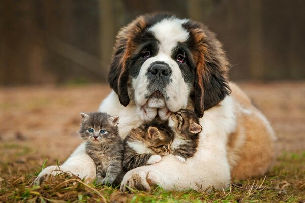 Saint Bernard Love for Kittens