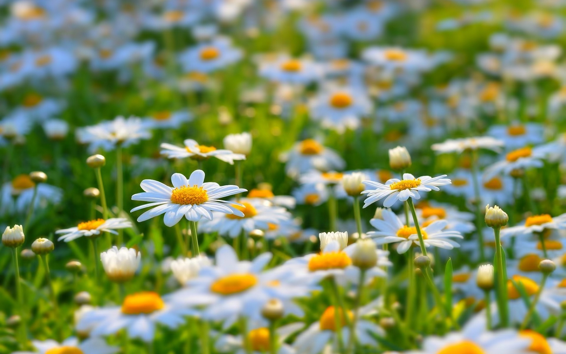 flowers nature summer chamomile flower flora fair weather hayfield field outdoors bright grass leaf sun growth garden color sunny blooming petal daisy cool gorgeous