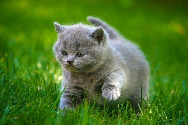 Grey Little Kitty