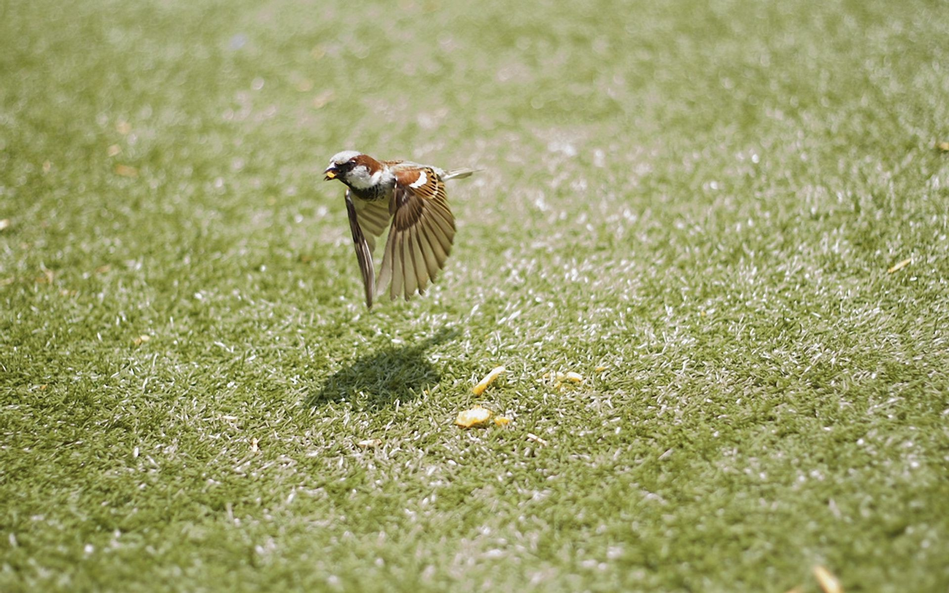wings Sparrow Bird crumbs bird motion flight