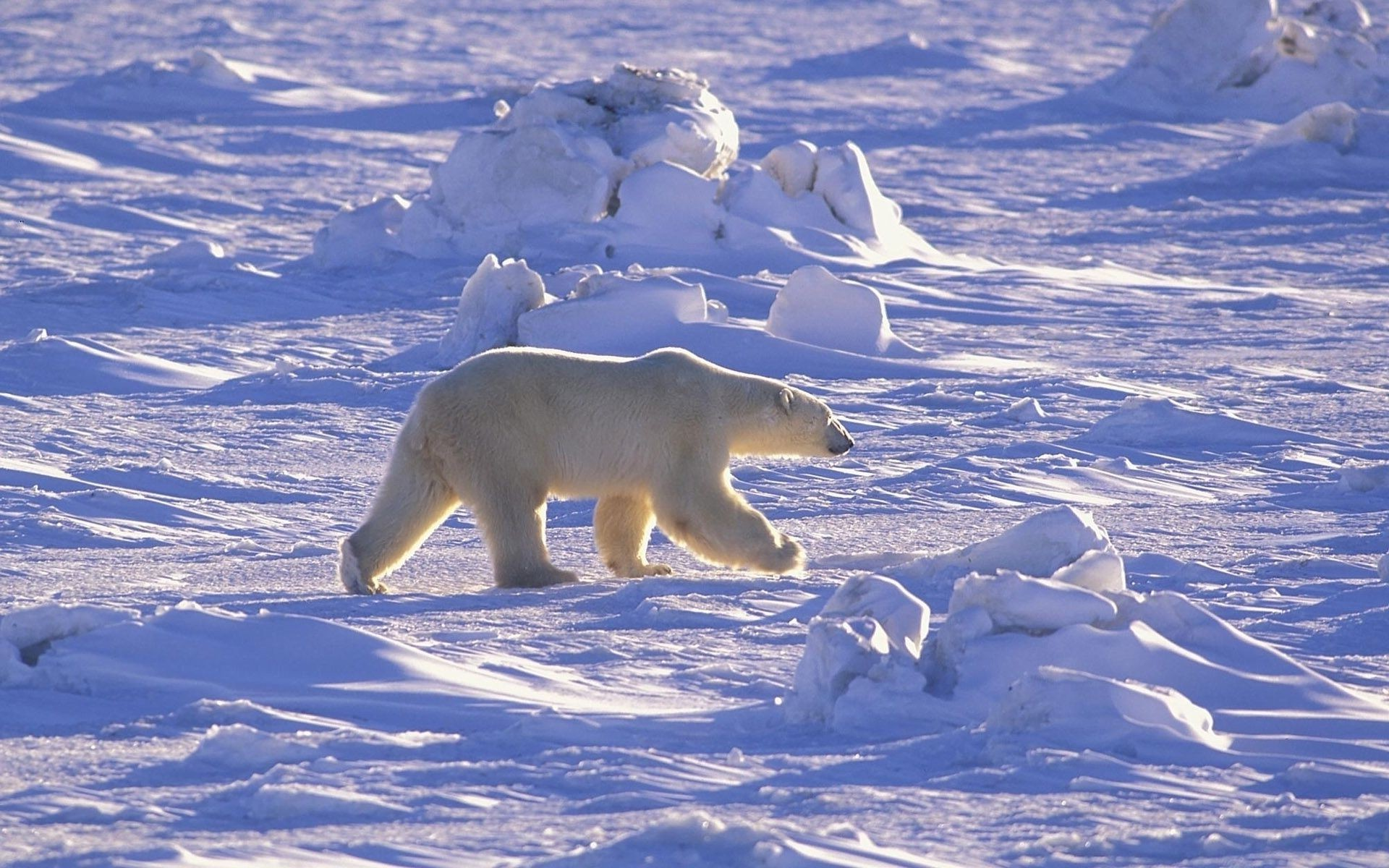 bears snow winter frosty ice cold polar frozen frost nature outdoors water mammal landscape wildlife