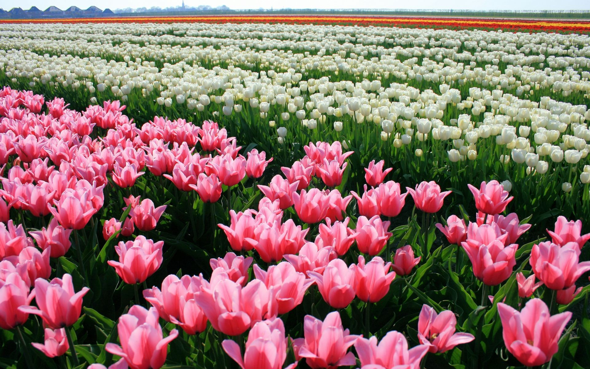 The plantation of tulips in Holland