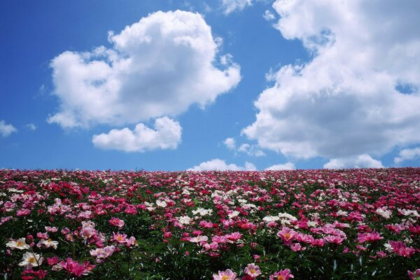 peonies horizon clouds field Flowers