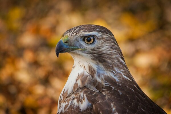 Hawk Profile