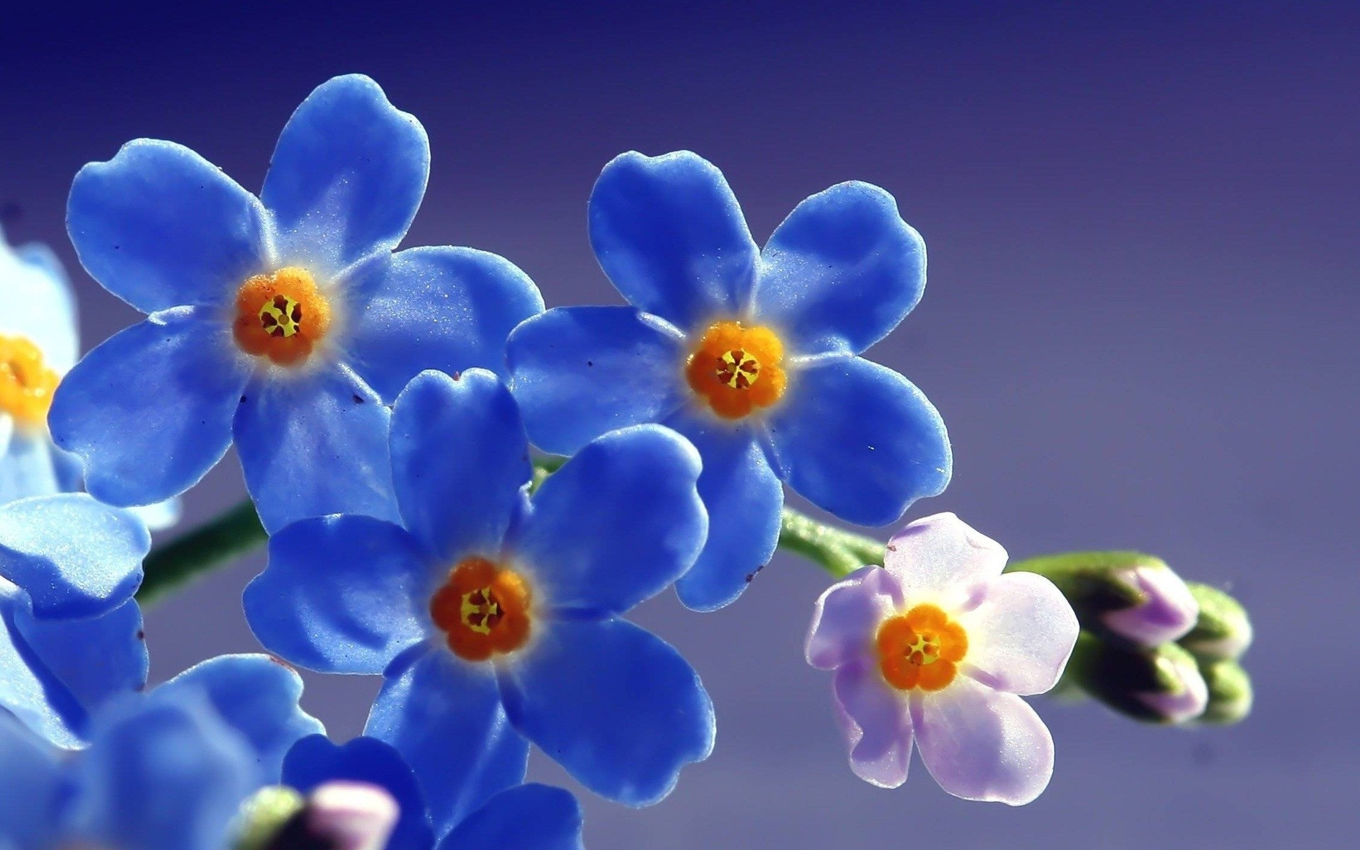 Blue Forget Me Not Flower Android Wallpapers For Free