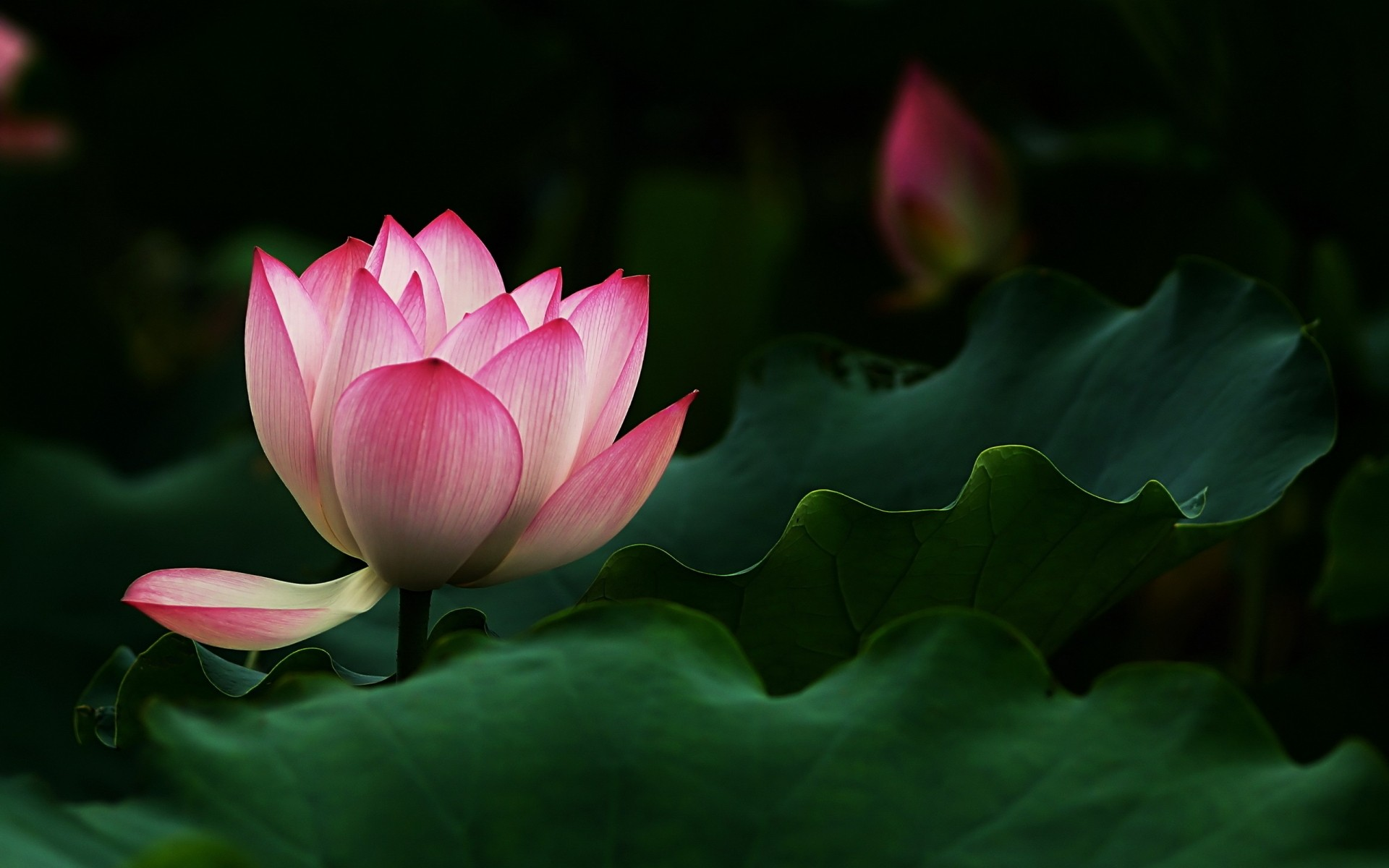 Beautiful lotus flower android wallpapers for free izmirmasajfo Images