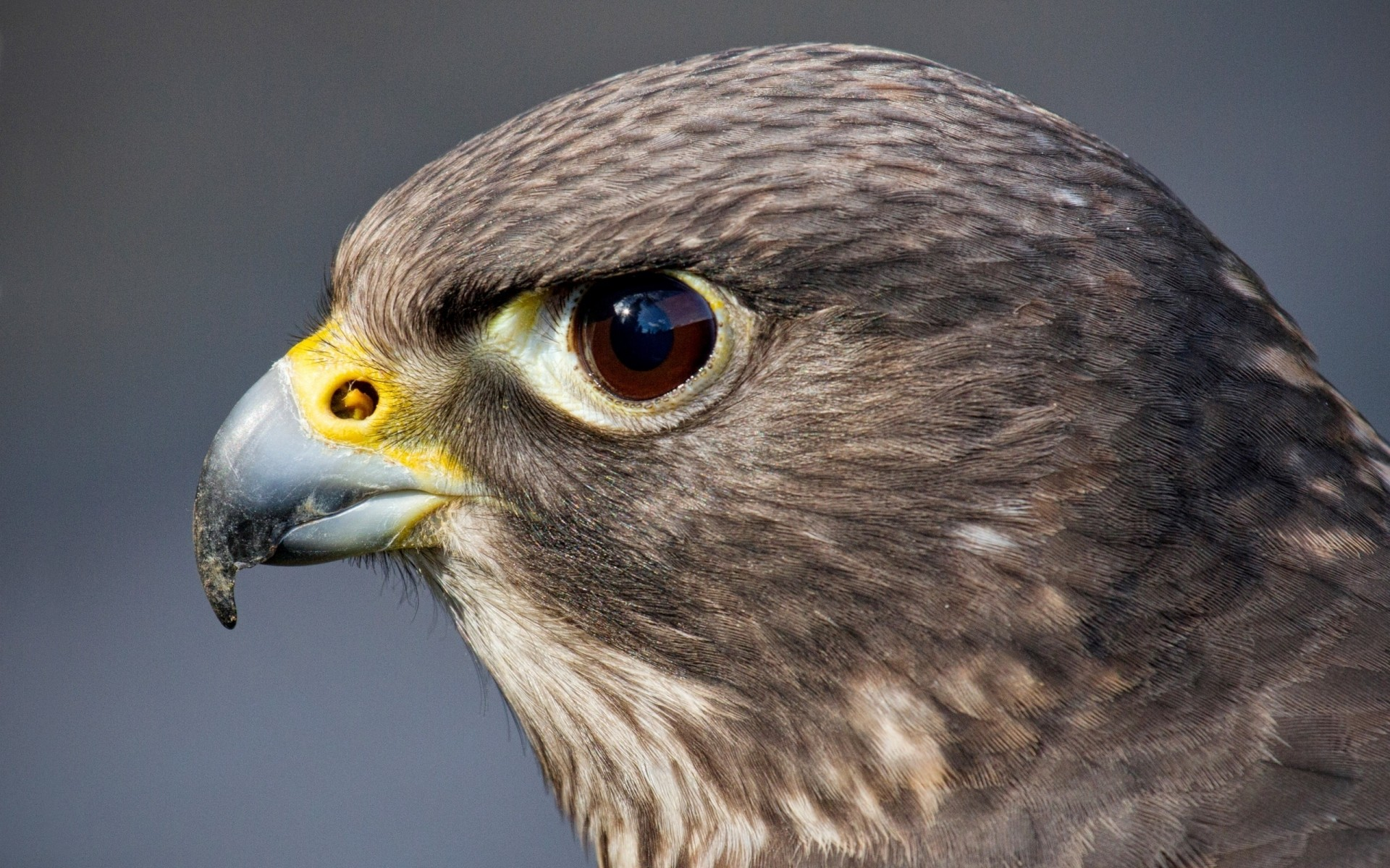 Hawk Head IPhone Wallpapers For Free