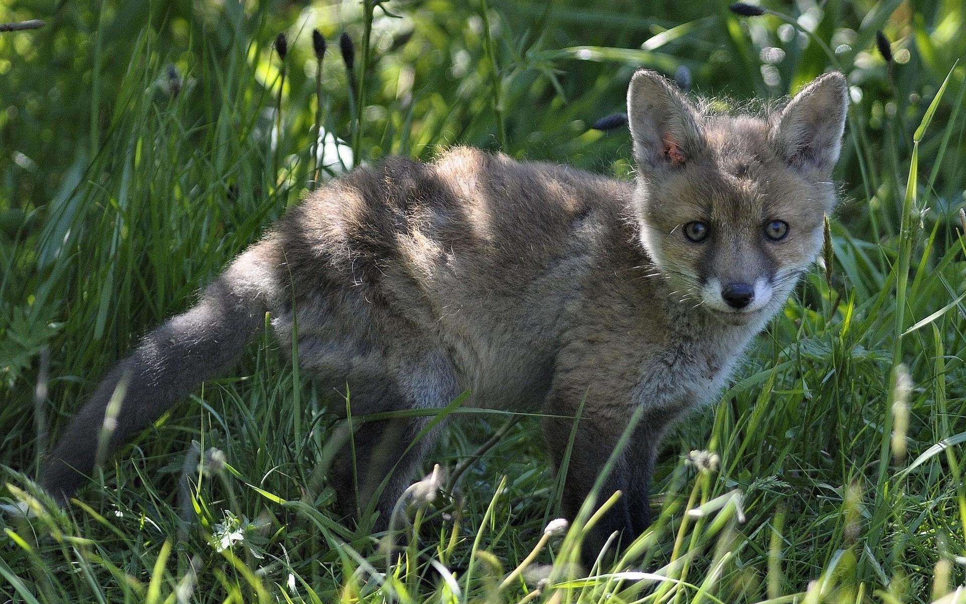 animals mammal animal grass cute wildlife nature little fur outdoors wild fox canine young baby looking