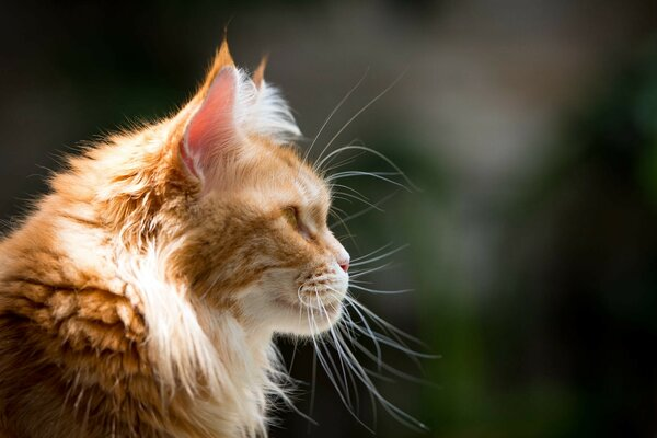 Red Cat Profile