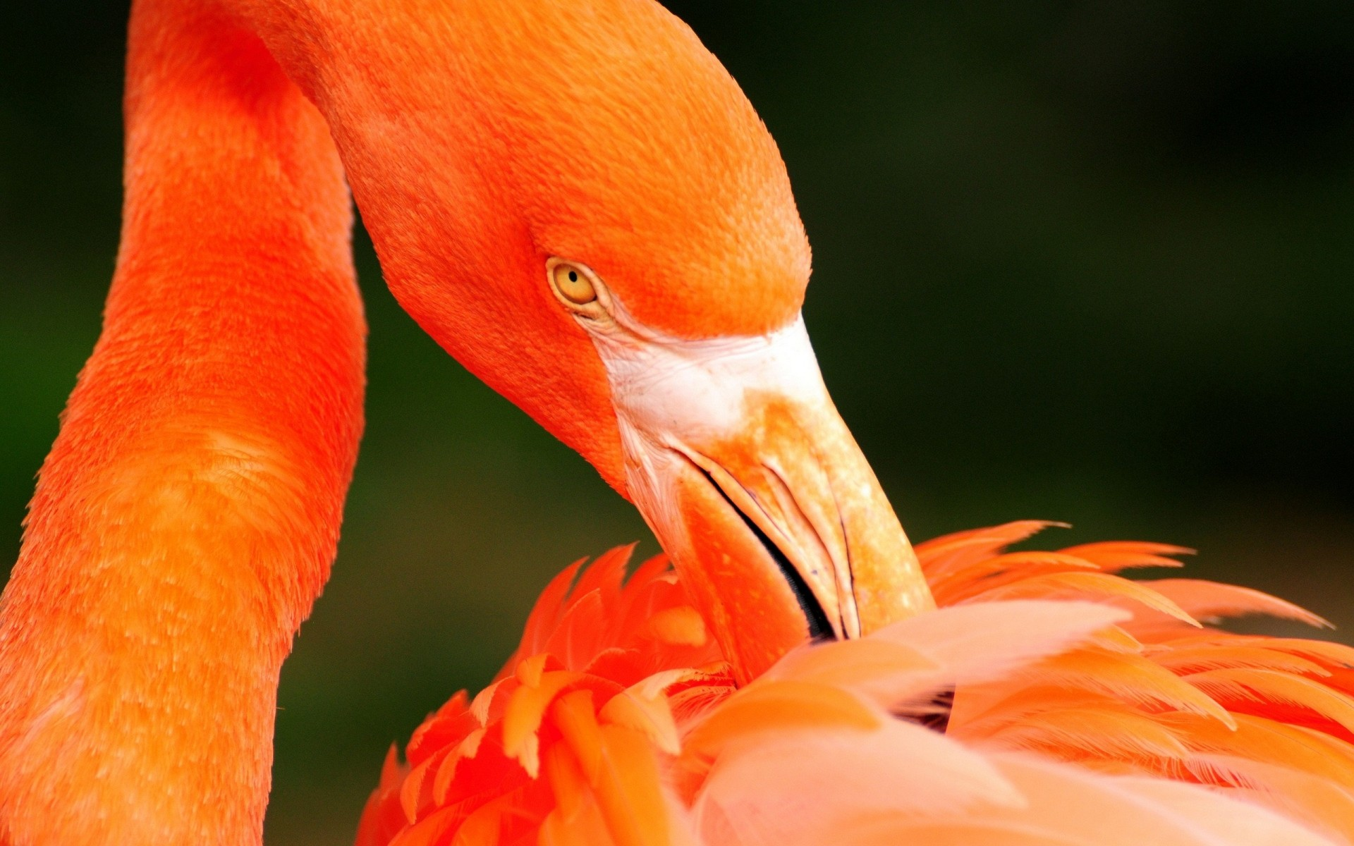 flamingo bird nature wildlife outdoors beak one feather tropical animal zoo