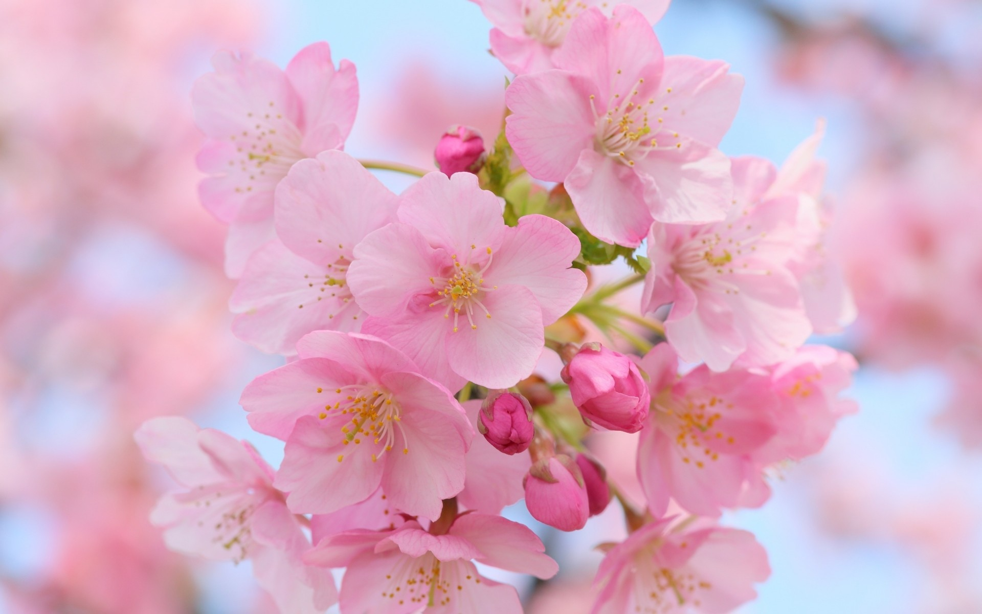 flowers flower cherry nature branch flora garden petal blooming tree leaf floral bud delicate season summer growth springtime bright outdoors pink flowers spring flowers cherry blossom