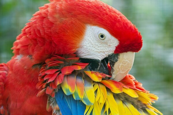 Beauty Red Parrot
