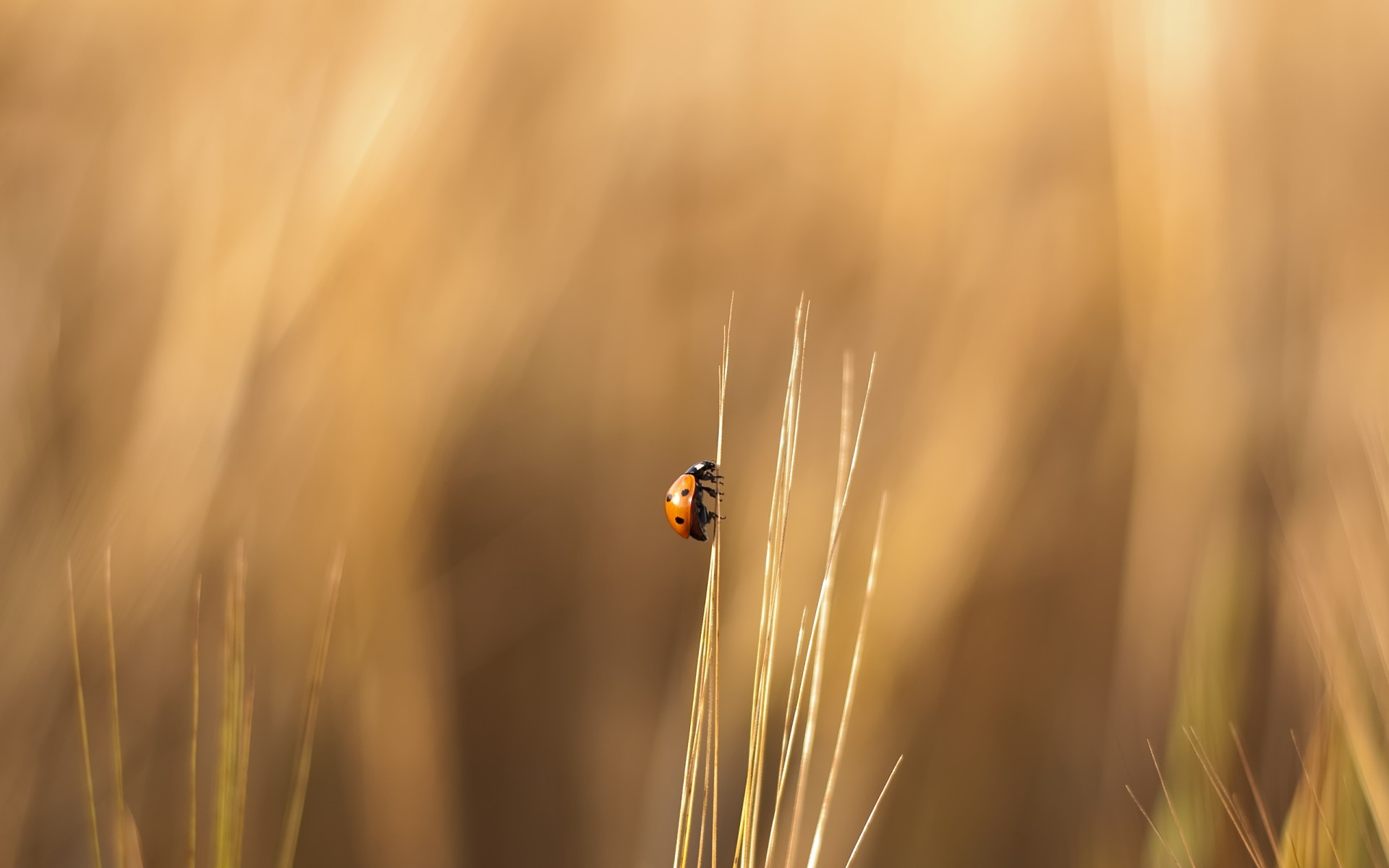 insects insect ladybug beetle grass blur nature sun summer fair weather wheat outdoors