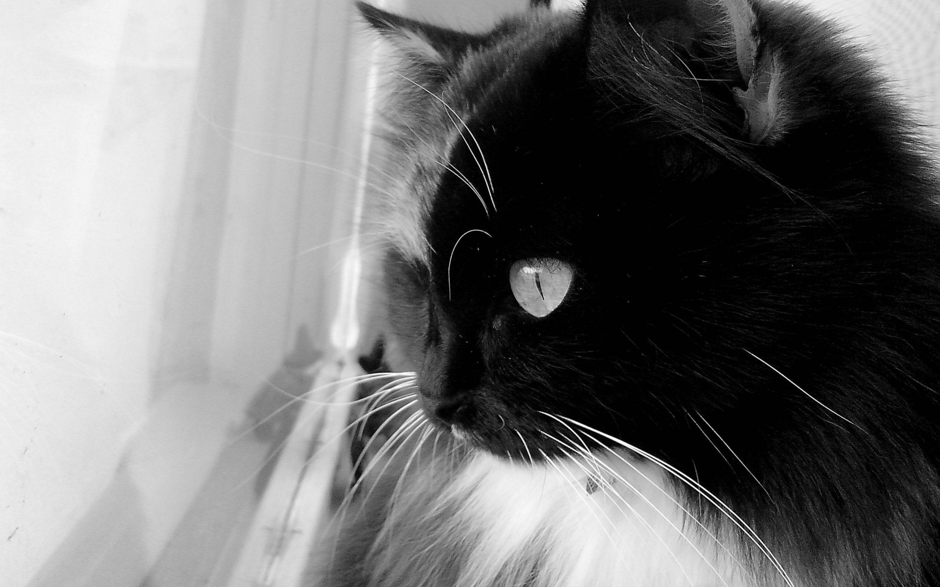 Black And White Cat Iphone Wallpapers For Free