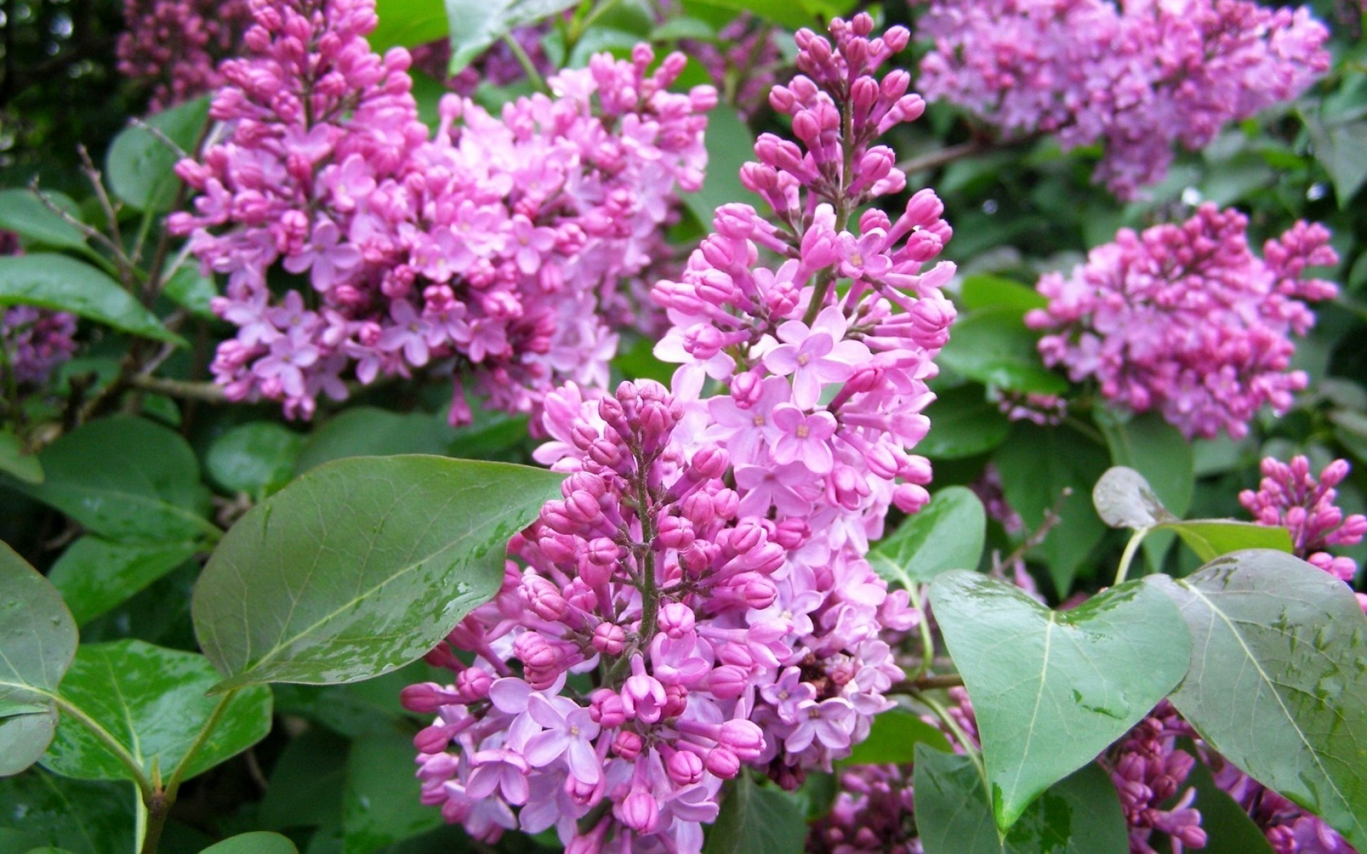 flowers flower flora nature garden leaf blooming petal floral shrub summer season color violet growth lavender outdoors tree park beautiful lilac violet lilac